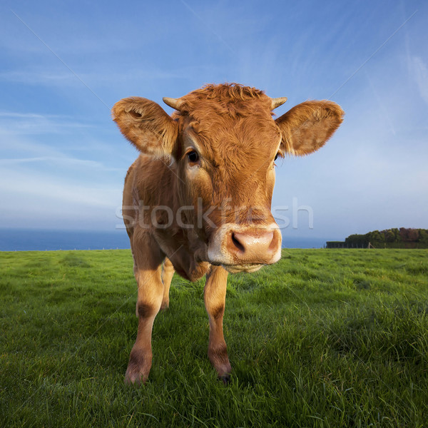Portrait of brown cow Stock photo © vwalakte