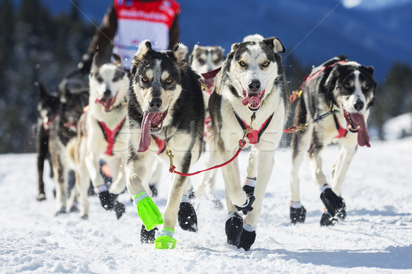 View of sled dog race on snow Stock photo © vwalakte