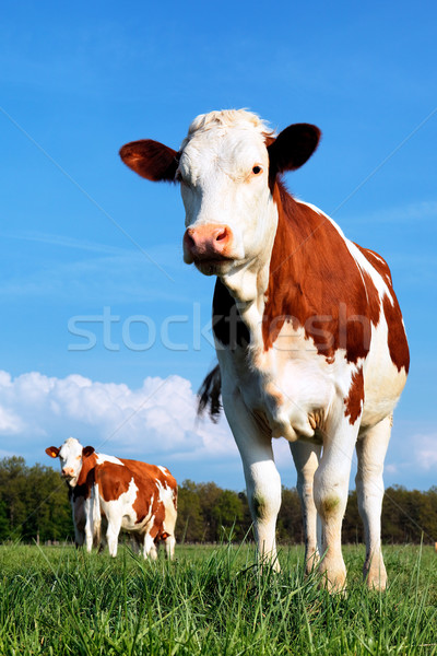 cow and fresh grass  Stock photo © vwalakte