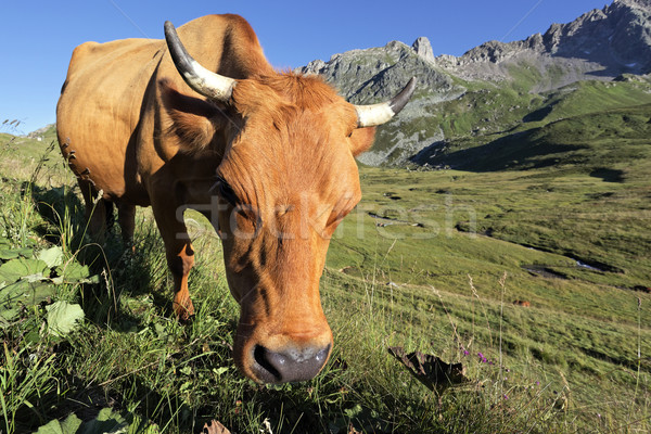 Cow in french Alps  Stock photo © vwalakte