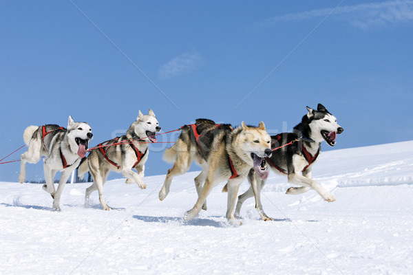 sportive dogs in the snow  Stock photo © vwalakte