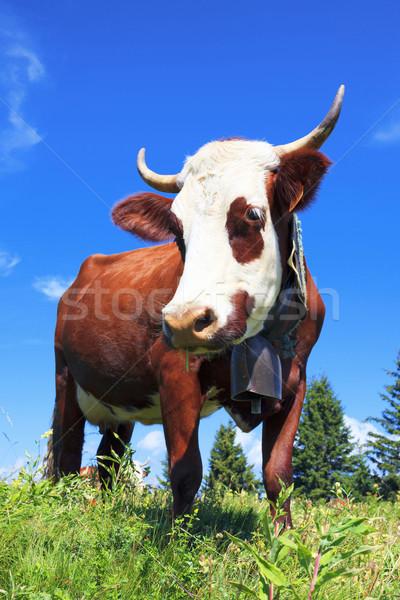 Brown milk cow  Stock photo © vwalakte
