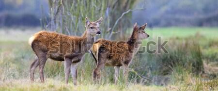 Whitetail fawns Stock photo © vwalakte