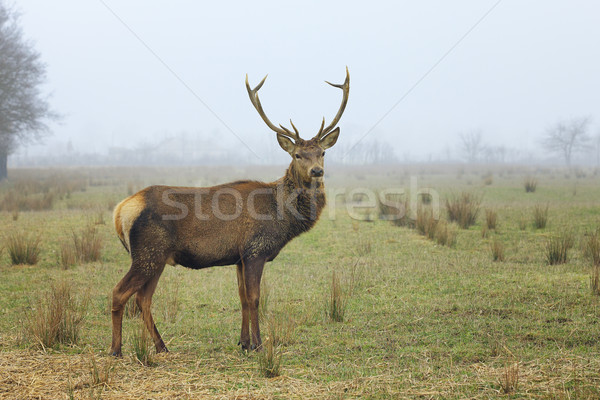 Görmek kırmızı geyik orman manzara Stok fotoğraf © vwalakte
