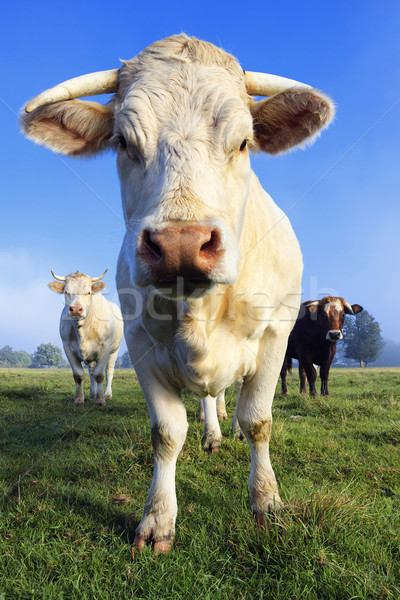 Cow in the morning light Stock photo © vwalakte