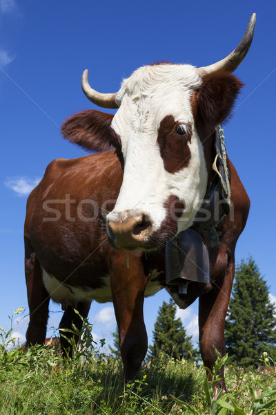 Brown cow in a meadow Stock photo © vwalakte