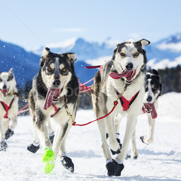 dog race on snow Stock photo © vwalakte