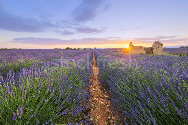 Purple lavender filed in Valensole at sunset Stock photo © vwalakte