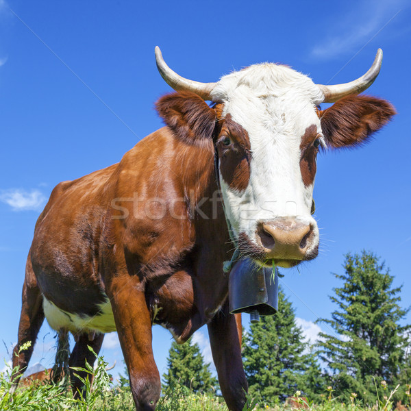 cow in french alps with blue sky Stock photo © vwalakte