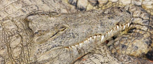 crocodiles sleeping Stock photo © vwalakte