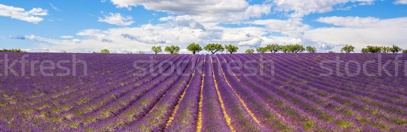 Panoramic view of Lavender field Stock photo © vwalakte