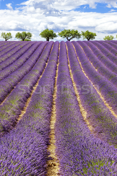 Vertical view of lavender field with cloudy sky Stock photo © vwalakte