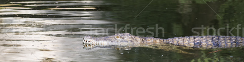 crocodile swimming Stock photo © vwalakte