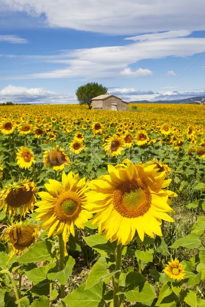 Mooie landschap zonnebloem veld bewolkt blauwe hemel Stockfoto © vwalakte