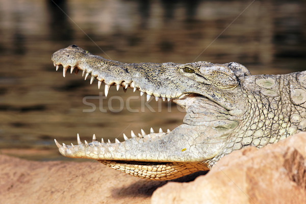 Fej krokodil pihen kő nyitva száj Stock fotó © vwalakte