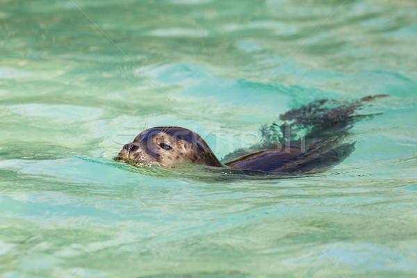 Swimming seals Stock photo © vwalakte