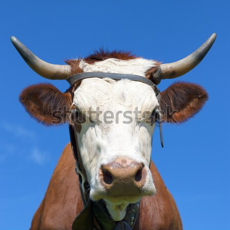 horned cow Stock photo © vwalakte
