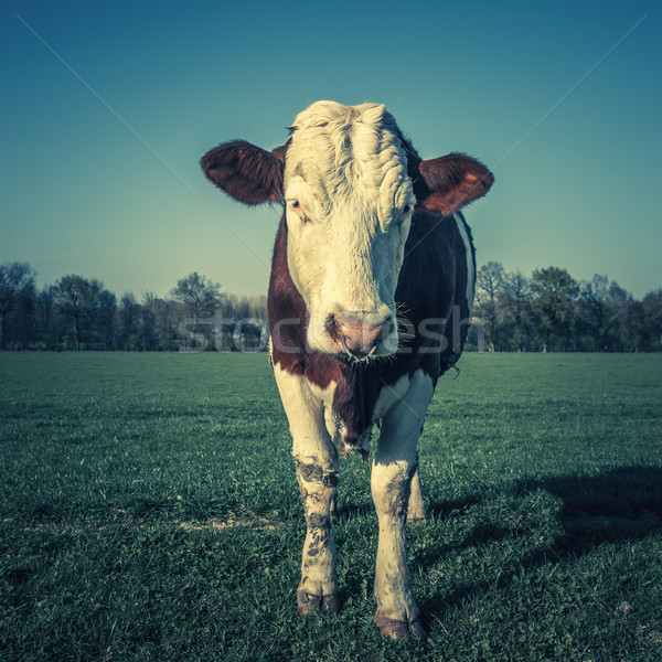 cow, special photographic processing. Stock photo © vwalakte