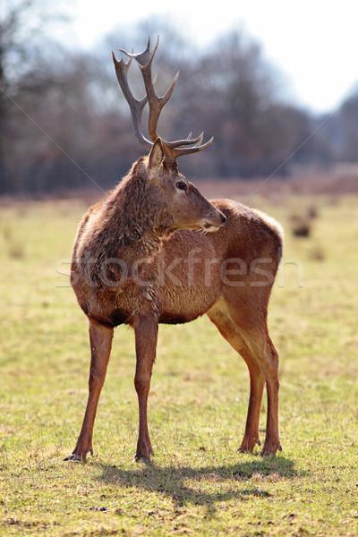 Fenséges szarvas gyönyörű kép erdő tájkép Stock fotó © vwalakte