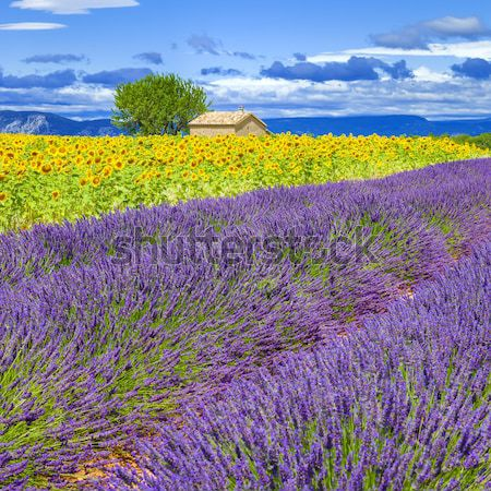 View of lavender and sunflower field Stock photo © vwalakte