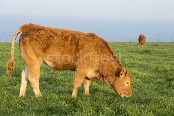 Cow grass and sea Stock photo © vwalakte