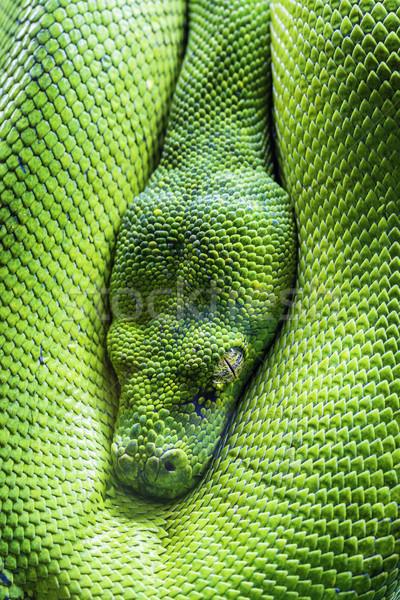 Arbre vert python oeil vue vert tropicales Photo stock © vwalakte