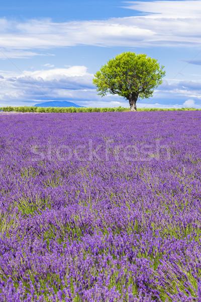 表示 ラベンダー畑 ツリー 花 風景 夏 ストックフォト © vwalakte