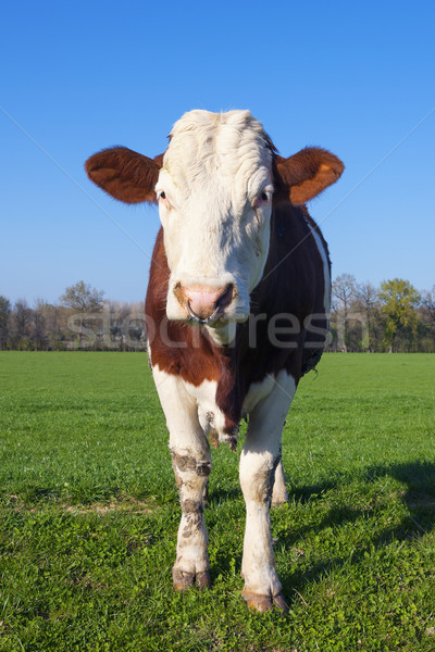 White and brown cow Stock photo © vwalakte