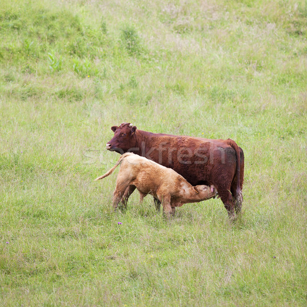 Brown cow and calf Stock photo © vwalakte