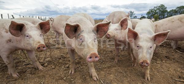 Panoramic view of pigs Stock photo © vwalakte