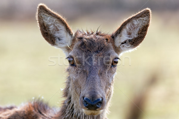 wild doe head Stock photo © vwalakte