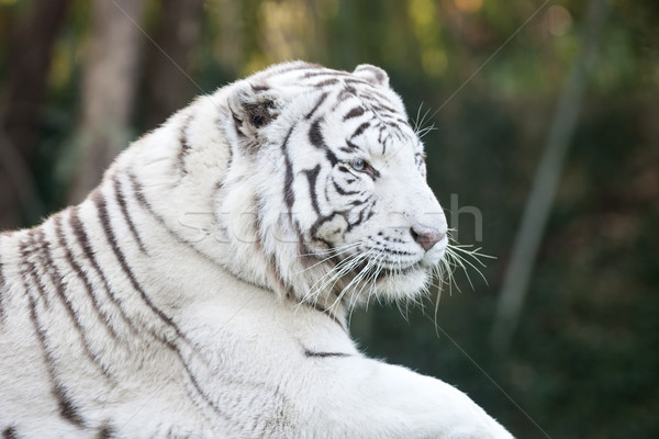 White tiger head Stock photo © vwalakte