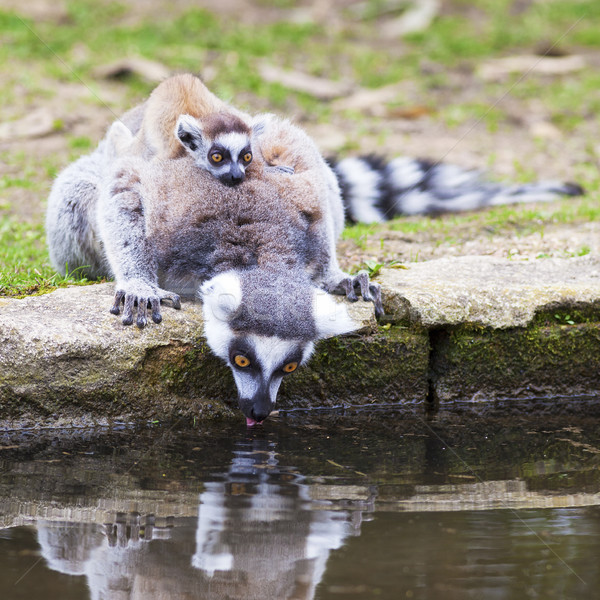 ring-tailed lemur Stock photo © vwalakte