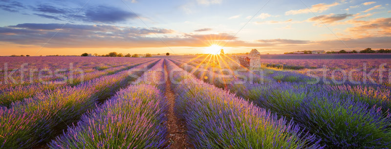 Panoramic view of lavender filed in Valensole at sunset Stock photo © vwalakte