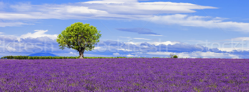 Panoramic view of lavender field with tree Stock photo © vwalakte