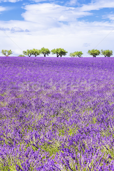 Vertical view of beautiful lavender field Stock photo © vwalakte