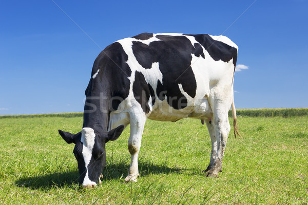 Grazing cow Stock photo © vwalakte