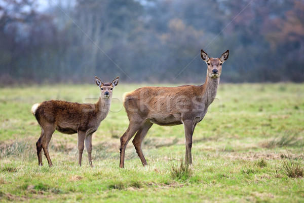 Stock photo: Doe and fawn