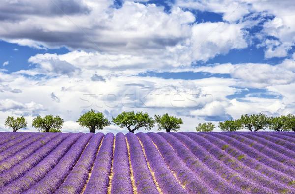 表示 ラベンダー畑 フランス ヨーロッパ 花 風景 ストックフォト © vwalakte