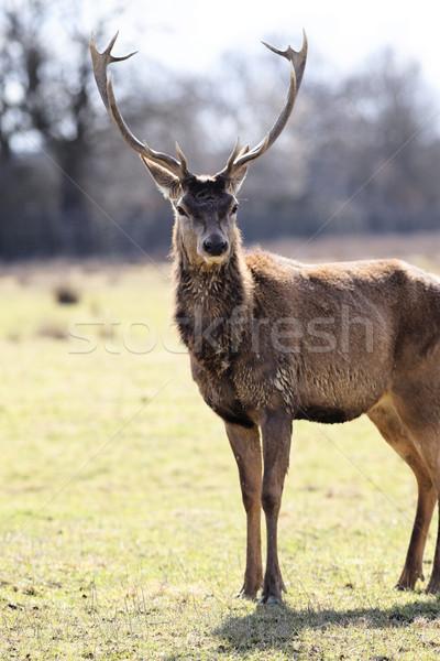 Stock photo: wild deer