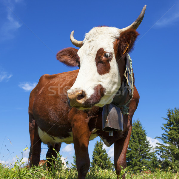 Portrait of cow in french alps Stock photo © vwalakte