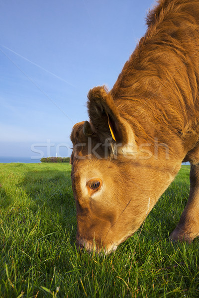Portrait of grazing cow Stock photo © vwalakte