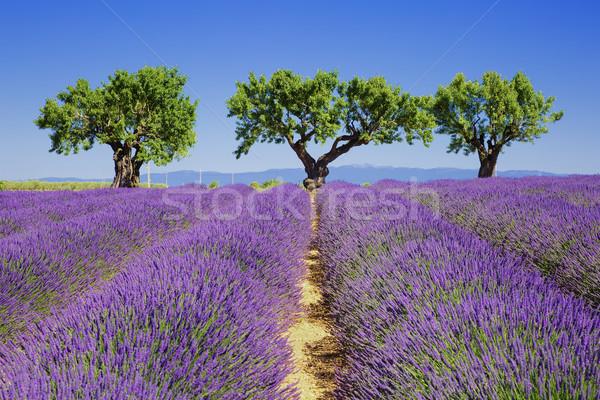 ラベンダー畑 フランス語 花 風景 工場 農業 ストックフォト © vwalakte