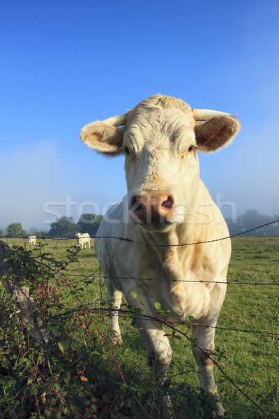 Cow on a summer pasture  Stock photo © vwalakte