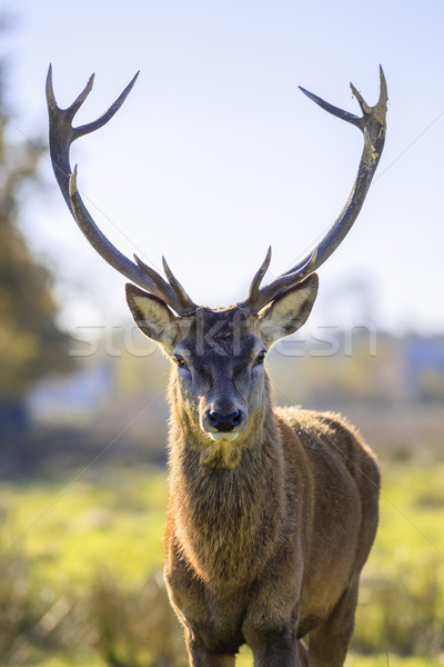 majestic powerful adult red deer Stock photo © vwalakte