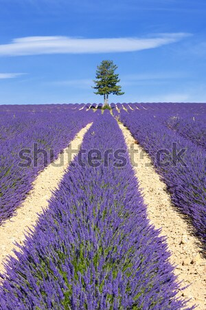View of Lavender field with tree and blue sky Stock photo © vwalakte
