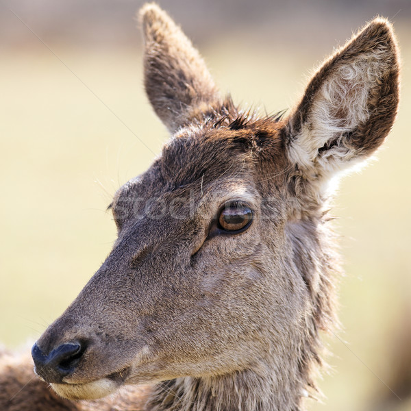 portrait of wild doe Stock photo © vwalakte