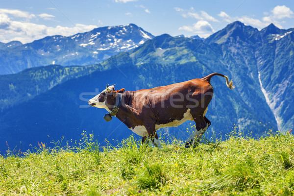 Cow running in french alps Stock photo © vwalakte