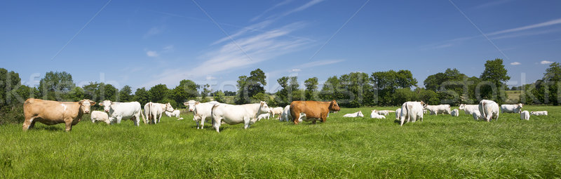 Panoramic view of cows Stock photo © vwalakte