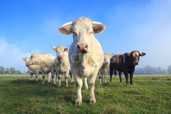 Troupeau jeunes blanche vaches vert prairie Photo stock © vwalakte